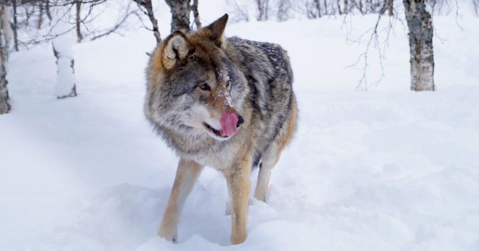 Rovviltnemndene i Hedmark og Akerhus, Oslo og Østfold har åpnet for uttak av tre ulveflokker i ulvesonen kommende vinter. Bondelaget krever at det tas ut minimum to helnorske og to grenseflokker. (Foto: Shutterstock/Gu1Ms)