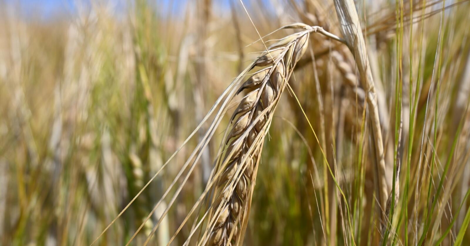 ØKE: Norske byggåkere har potensial til å gi oss mer korn.