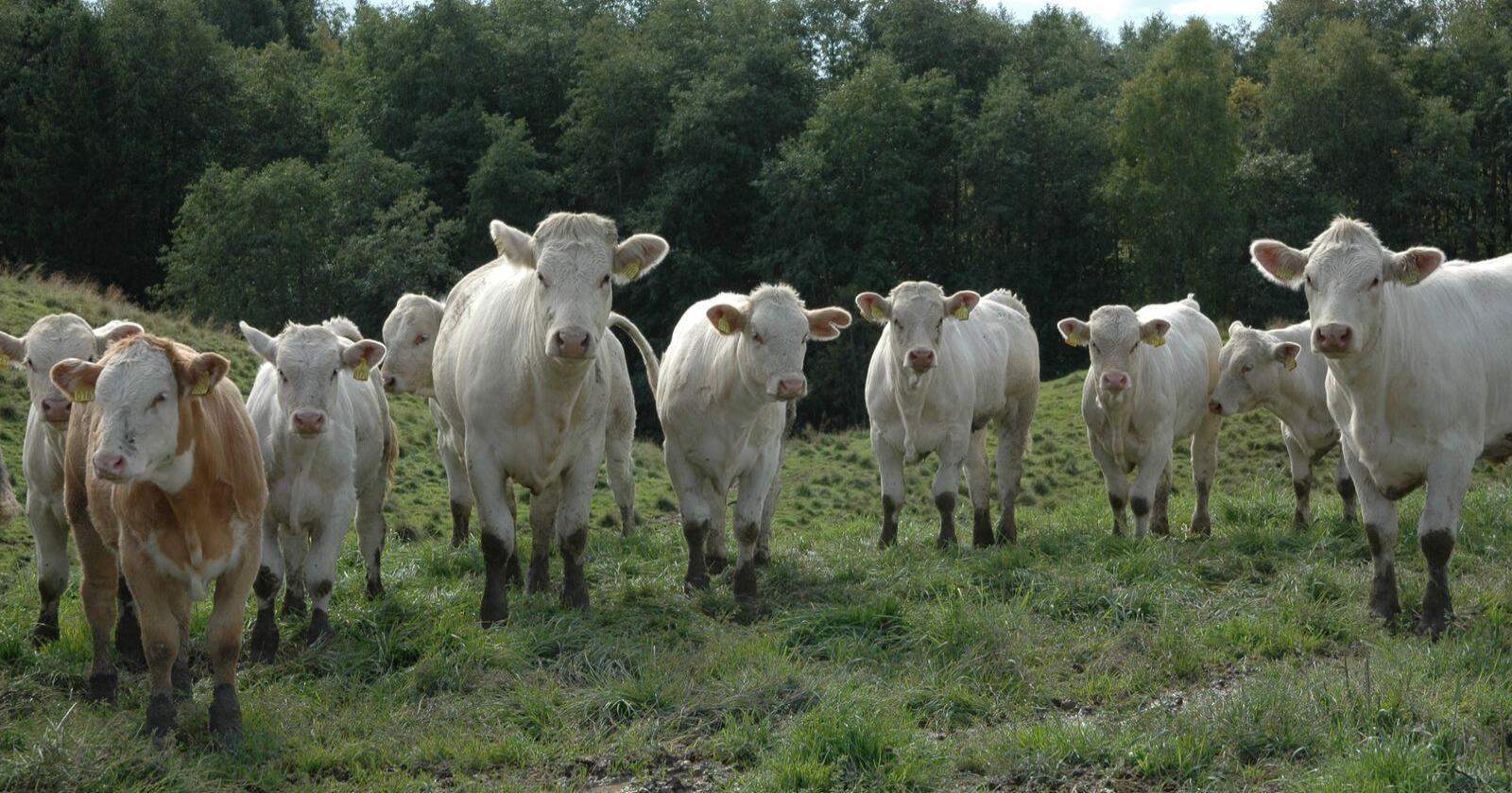 Omsetningsavgiften på storfekjøtt er nede i 10 øre i sommer. (Arkivfoto)