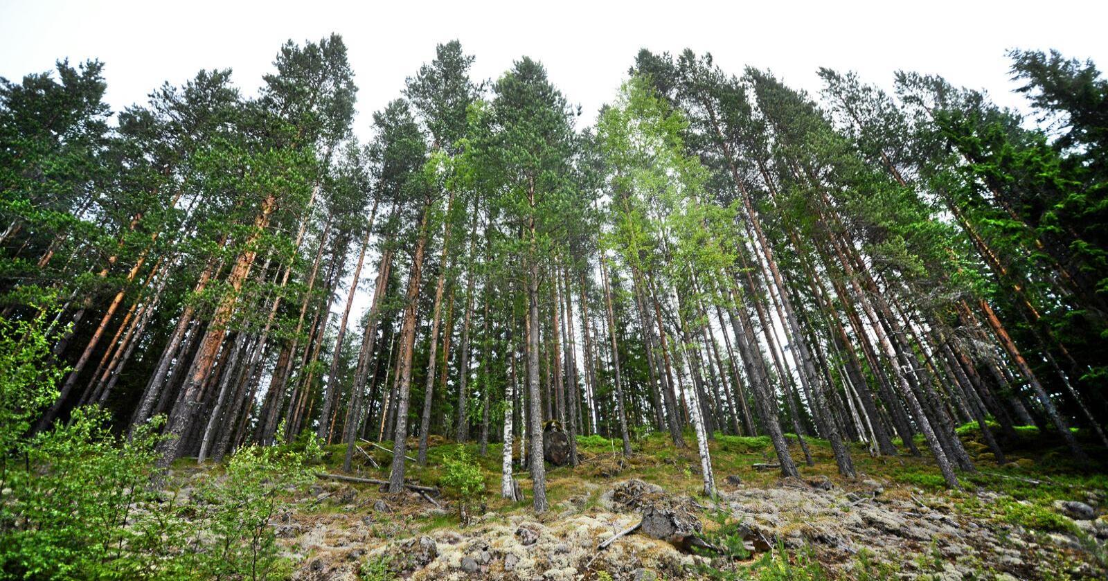 Miljørørsla heier i for liten grad på ein aktiv skogpolitikk som ein viktig del av klimapolitikken, skriv Geir Pollestad (Sp). Foto: Siri Juell Rasmussen