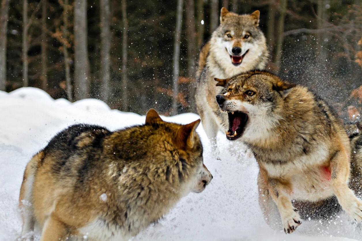 Ulv-ulv: – Fekt ut med armene og rop høyt. Ulven vil gå utenom mennesker, sier direktør Frank Vigh-Larsen for Skandinavisk Dyrepark. (Foto: David Dirga/Shutterstock)
