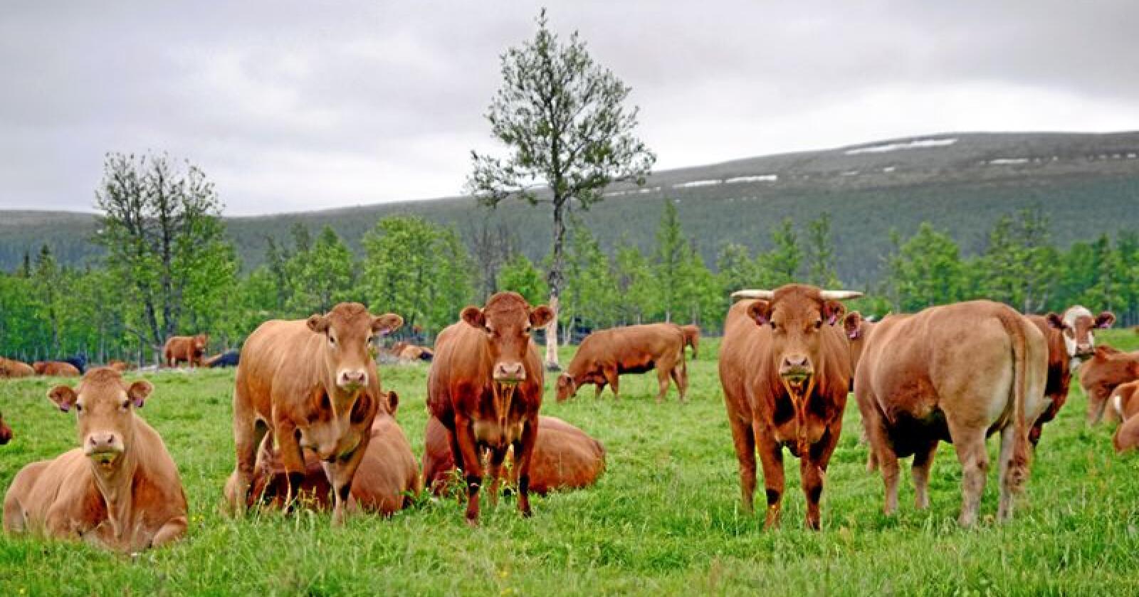 Kjøttproduksjon: Vi må satse på å produsere kjøttet vårt selv.  Foto: Mariann Tvete