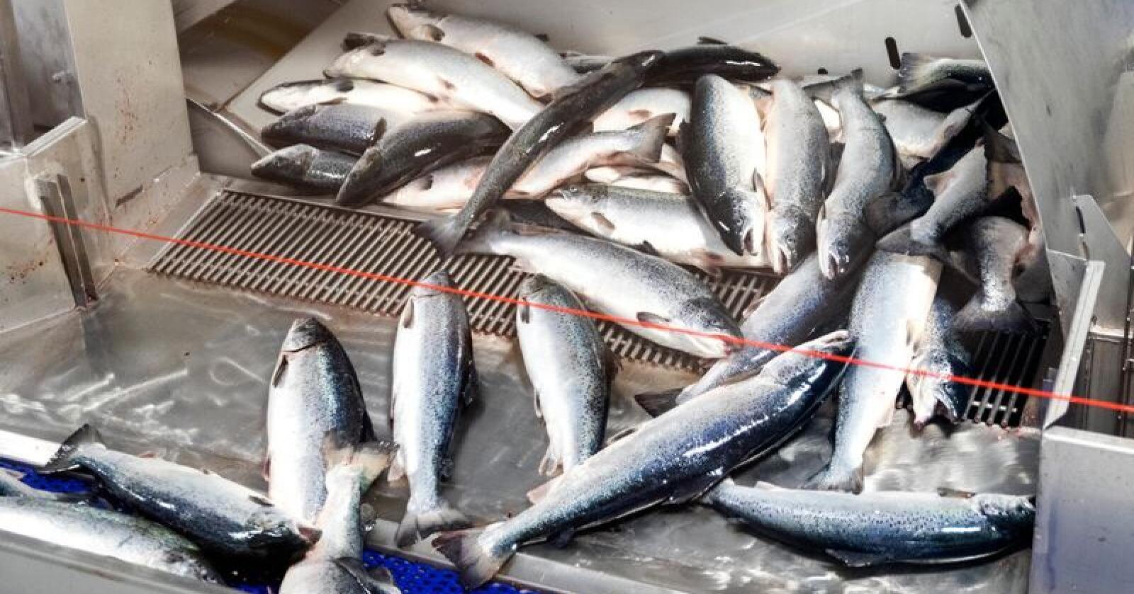 Fire norske børsnoterte oppdrettskonsern undersøkes av EU-kommisjonen for prissamarbeid. Foto: Gorm Kallestad / NTB scanpix