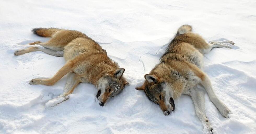 Opphav: Det er urovekkende at Ola Elvestuen avfeier undersøkelser om ulvens opphav som konspirasjonsteorier, skriver Ibrahim Ali og Fredrick Bjerke. Foto: Statens Naturoppsyn / NTB scanpix