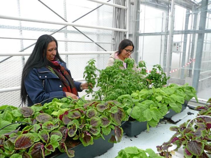 Prøveproduksjon av grønsakene Amaranthus og Fenugreek. Produksjon av eksotiske grønsaker kan bidra til god integrering, trur avdelingsingeniør Geo van Leeuwen. Foto: Geo van Leeuwen, NIBIO