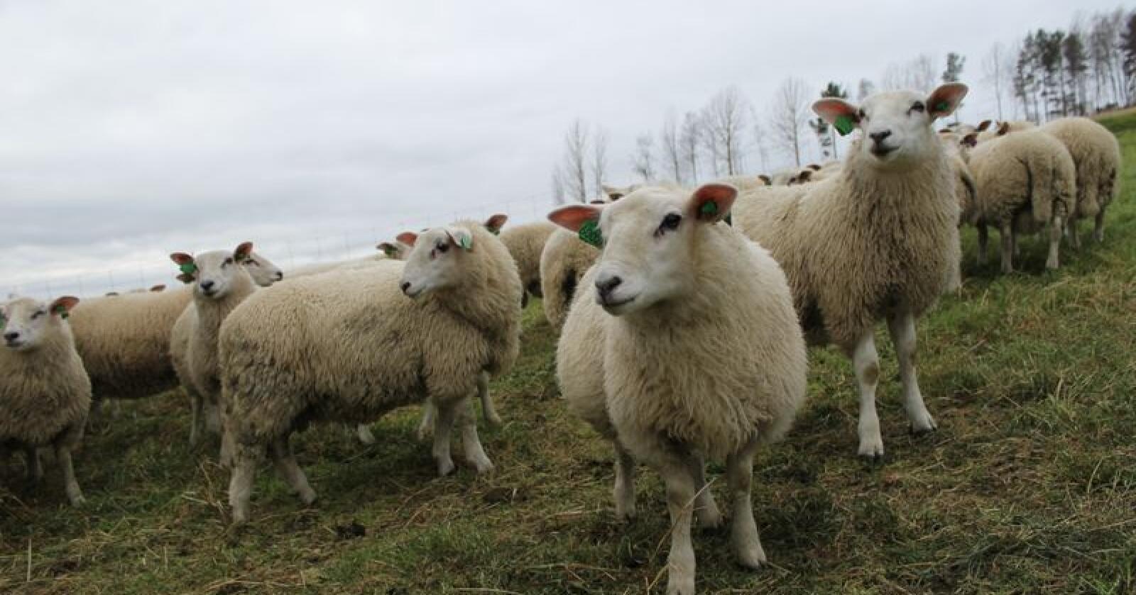Lam på høstbeite på Tynset. Arkivfoto: Norsk Landbruk