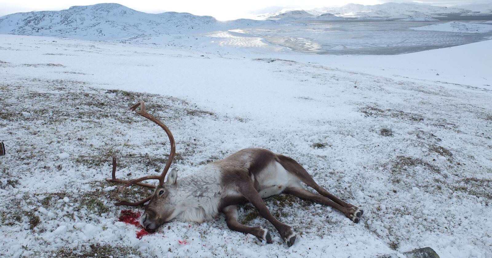 Testet: Siden starten i 2016 er over 100 000 hjortedyr testet for skrantesjuke. (Foto: Petter Braaten, SNO/Miljødirektoratet)