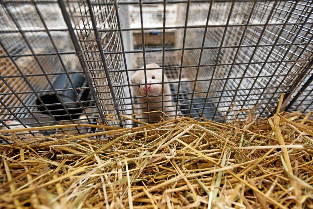 """Dyrevelferd: Slutt å bruk ordet """"dyrevelferd"""" om pelsproduksjon i bur, skriver innsenderen. Foto: Håvard Zeiner"""