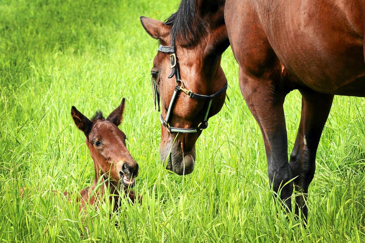 Delikatesse: Hestekjøtt er storfekjøttet overlegent som matvare. Likevel blir tilgangen på hestekjøtt stadig mindre. Foto: Siri Juell Rasmussen