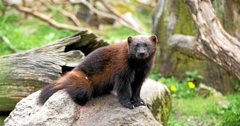 Soneforvaltning: Jerven må forvaltes i rett sone. For bjørn er det ikke så nøye. Foto: Jonathan Othén/Mostphotos