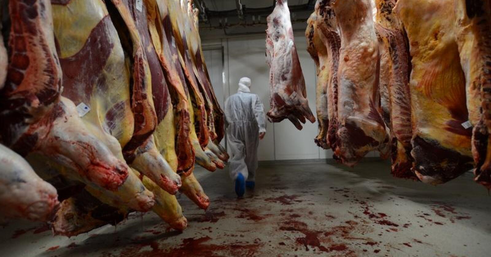 Hvis dyrene blir stresset før de slaktes får ikke kjøttet den samme mørheten som kjøttet normalt vil ha. Foto: Liv Jorunn D. Sagmo