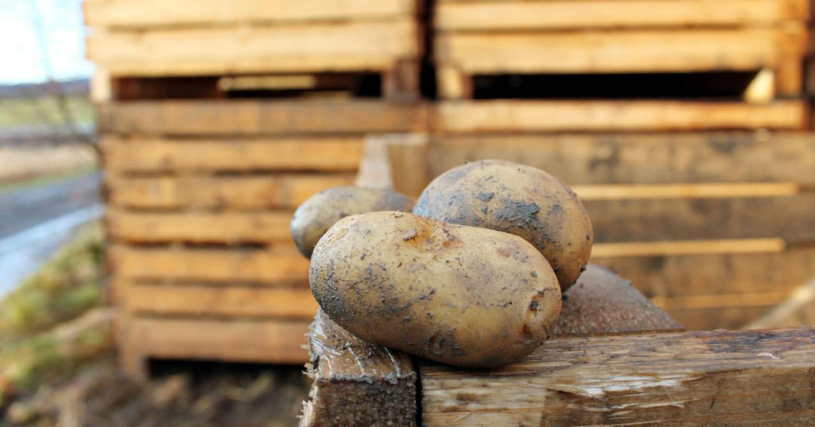 KVALITET: Gjennom et treårig prosjekt håper NIBIO at de skal få kunnskap om potetlagring, som skal hjelpe produsentene med å holde på kvaliteten gjennom lagringstida. Foto: Marit Glærum