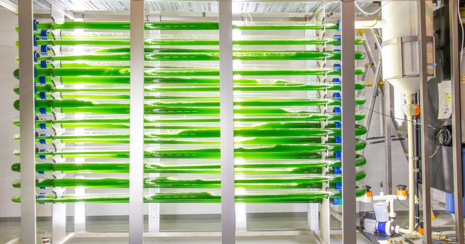 Bildet viser en bioreaktor med mikroalger på Ås. (Foto: Erling Fløistad, Nibio)