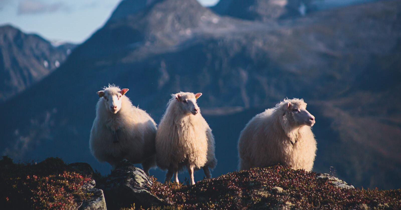Det viktigste for utviklingen i jordbruket i Troms og Finnmark, er å sikre økt lønnsomhet og nok investeringsmidler slik at de som er i næringen i dag blir der og får mulighet til å utvikle driften sin, skriver Tone Rubach. Her et bilde av tre sauer på et fjell. Foto: Nikolai Tsuguliev/Mostphotos