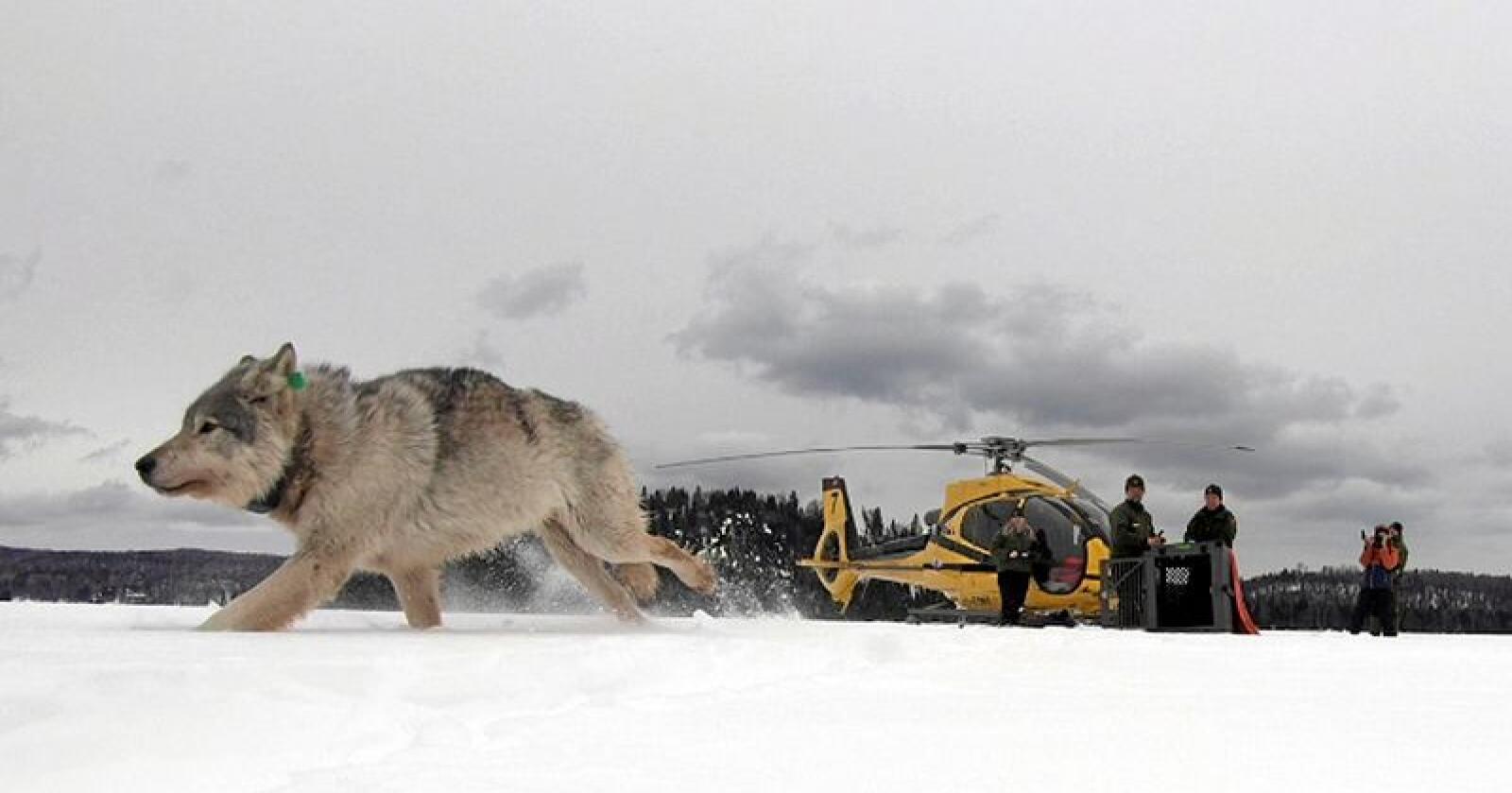 En nasjonalpark som dekker øyene i grensesjøen Lake Superior har så mye elg at myndighetene flyr inn ulver for å redusere bestanden. Foto: Daniel Conjanu / The National Parks of Lake Superior Foundation via AP / NTB scanpix