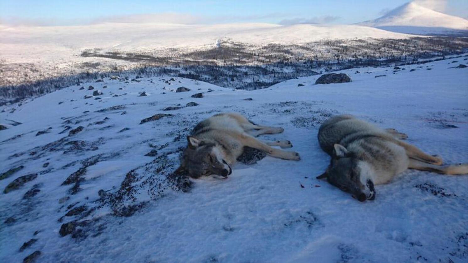 Statens naturoppsyn felte fredag to ulver i Rendalen for å forhindre framtidig skade på sau i området. Ulvene var et nytt revirmarkerende par. Foto: Statens naturoppsyn/Miljødirektoratet / NTB scanpix