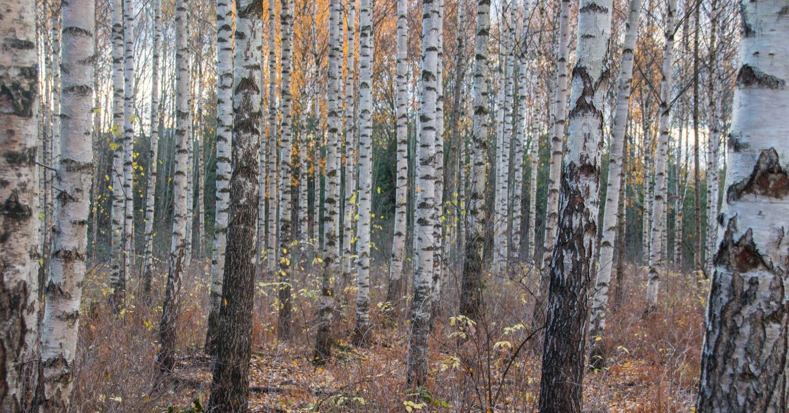 Av de vel 200 millioner kubikkmeter med bjørk som står i norske skoger i dag, går rundt 1,1 millioner kubikkmeter til ved og noen hundretusen kubikkmeter til videreforedling. Prisen for høykvalitets bjørketømmer til for eksempel tannstikkproduksjon er i dag rundt 800-1000 kroner per kubikkmeter.
