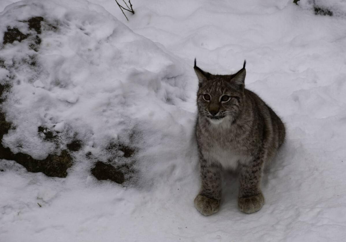 Klima- og miljødepartementet har fastsatt gaupekvoten i Midt-Norge til elleve dyr, hvorav maksimum fire voksne hunngauper. Foto: Colourbox