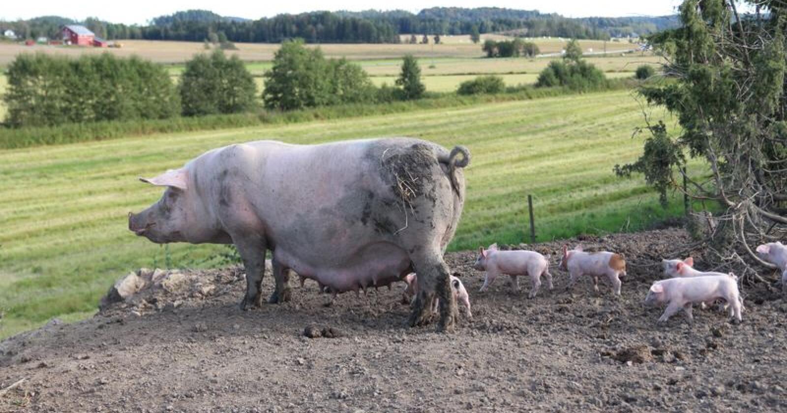 Dyrevernmerket krever blant annet at grisene får mer plass. De skal også ha tilgang til uteområder.(Foto: Kristin Bergo)