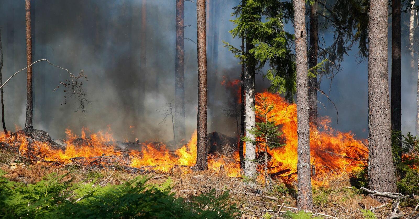 Så mange som en av ti skogbranner i Sverige kan skyldes skogsdrift. Her fra en skogbrann i Sverige i 2014. Foto: FREDRIK PERSSON / TT / NTB scanpix