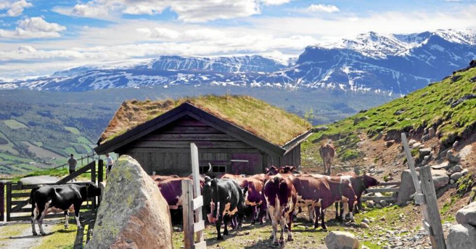 Ved stølen: Dyr på utmarksbeite er med på å sikre artsmangfoldet. Vang i Valdres.  Foto: Hilde Lysengen Havro.
