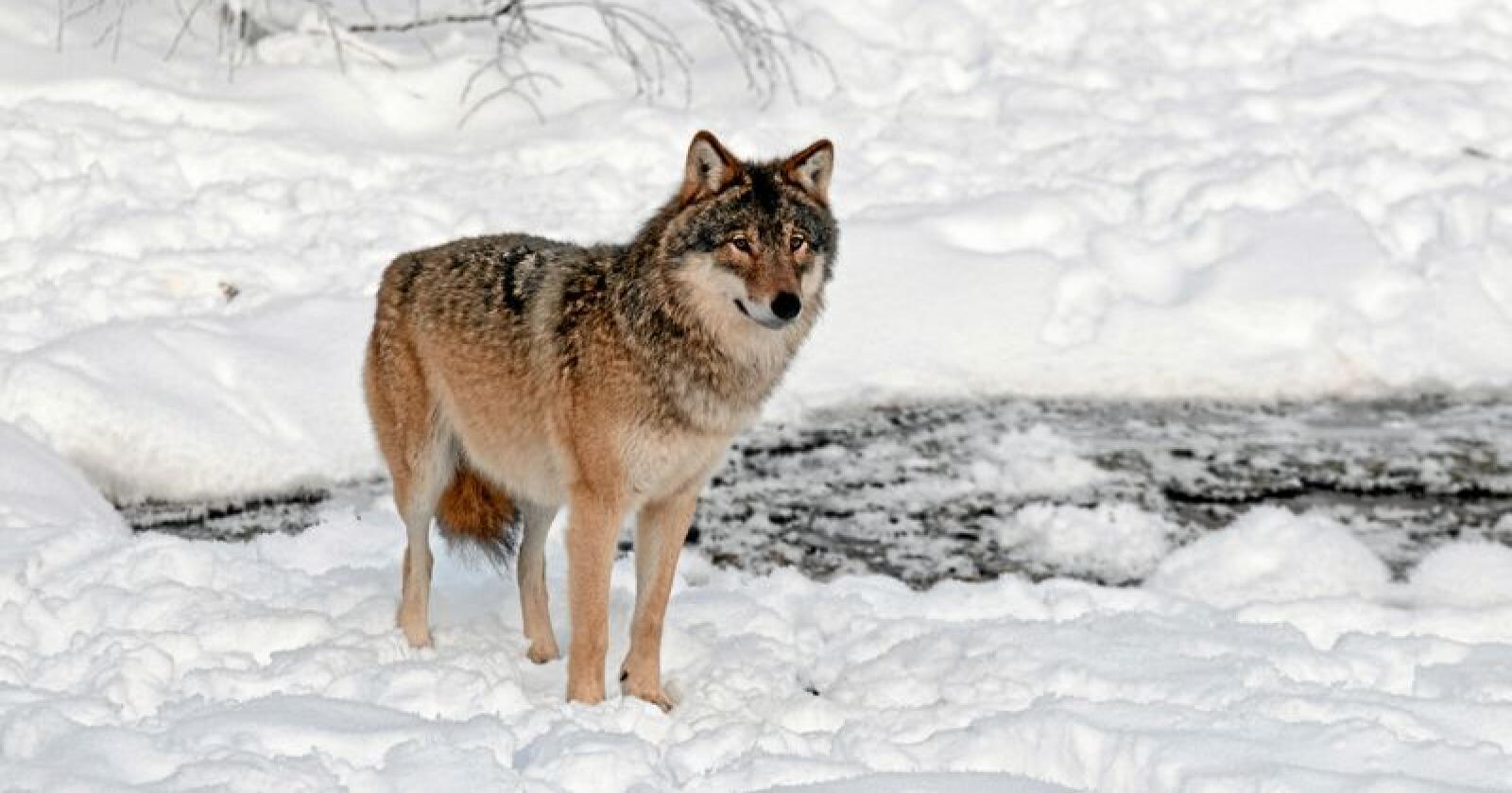 Folk som er berørt av ulv, vil føle en voksende avstand og avmakt mot de som forvalter, skriver Marius Røer Andresen. Foto: Felix Andre Skulstad / Mostphotos