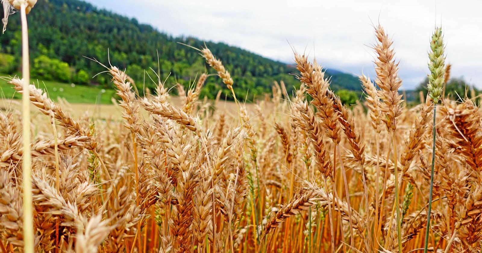 Kornarealet i Norge går ned, men effektiviteten i produksjonen har økt. Foto: Benjamin Hernes Vogl