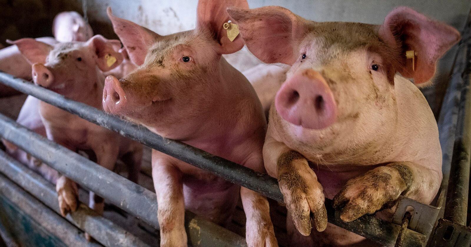 Det nye influensaviruset som er funnet i Kina, er påvist hos griser, men kan smitte videre til mennesker. Her griser fra en gård nære Frankfurt i Tyskland. Foto: Michael Probst / AP / NTB scanpix
