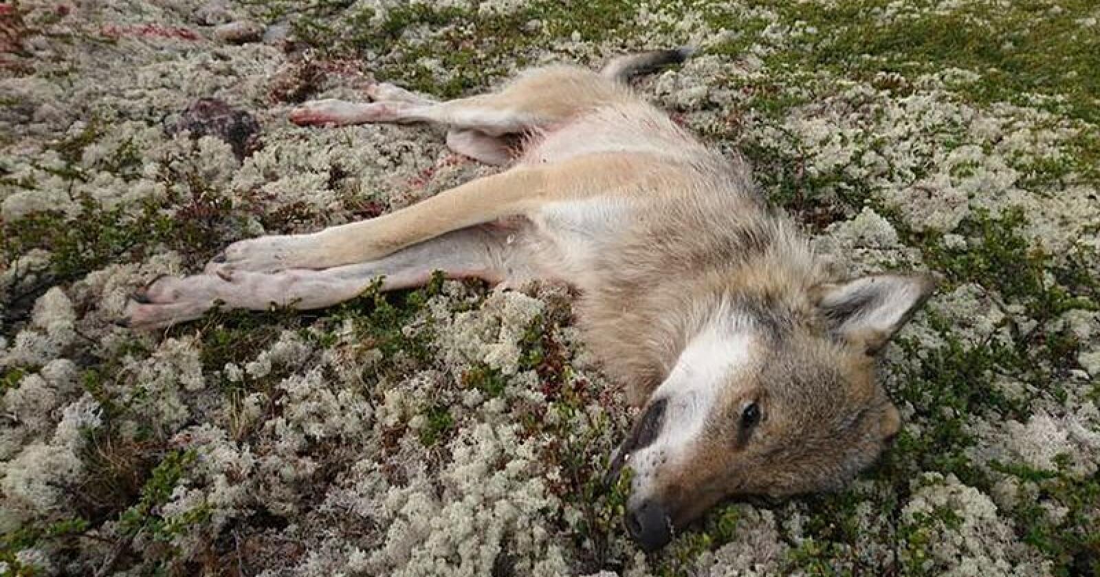 Torsdag ble en hannulv skutt i forbindelse med den pågående skadefellingen i Nord-Østerdal. Foto: Statens Naturoppsyn / NTB scanpix