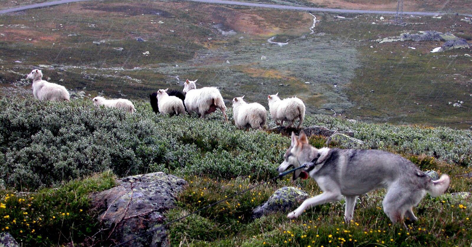 Båndtvang: Brudd på påbudet om båndtvang og hundeangrep på beitedyr må meldes til politiet. Foto: Berit Keilen / NTB
