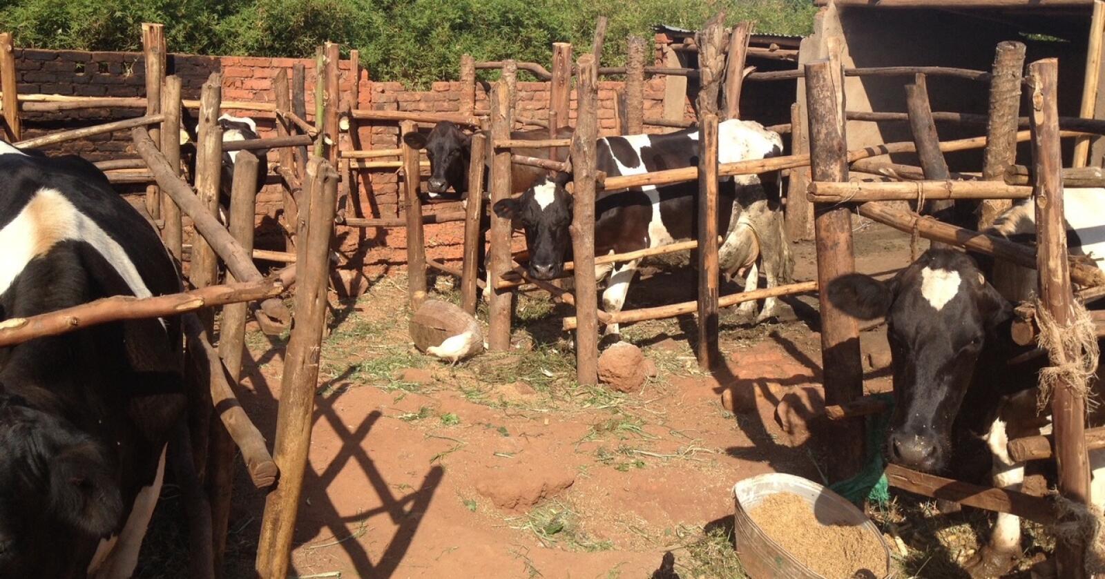 Så mye som én av fem i Malawi er underernært. Norfund mener økt konsum av melkeprodukter kan være et viktig bidrag til å snu denne utviklingen. Foto: Lilongwe Dairy