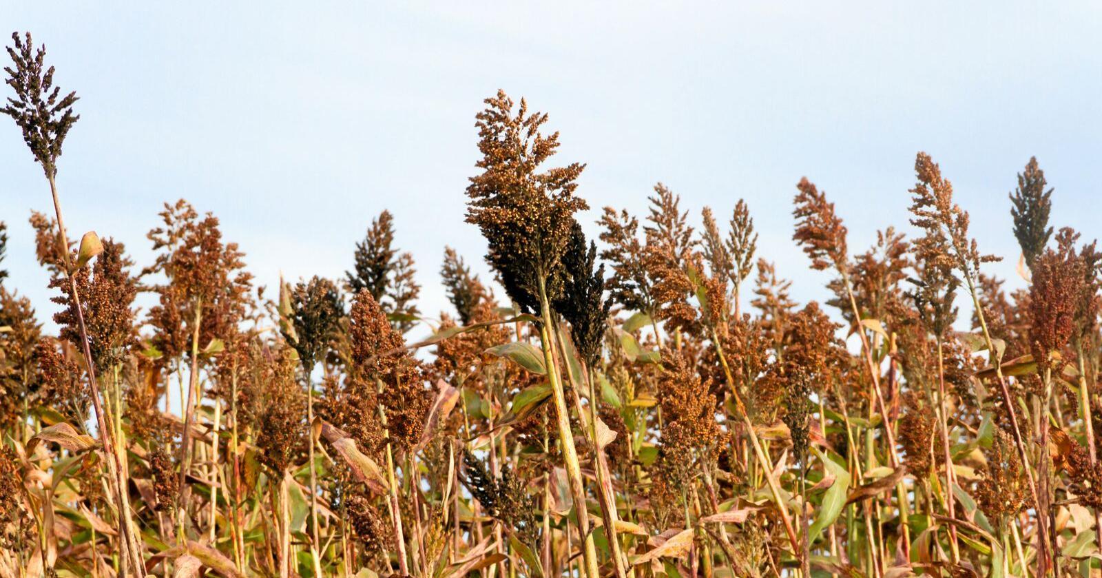 Illustrasjonsbilde av Durra, som er ett glutenfritt kornslag, som ofte dyrkes i afrikanske land som Somalia. Foto: Mostphotos