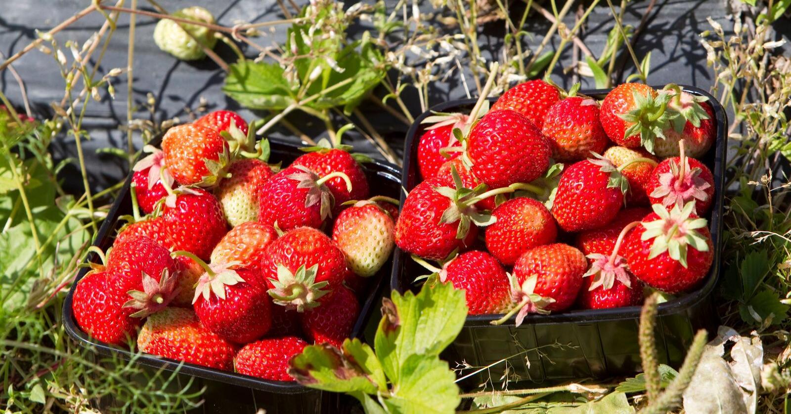 Arbeidstilsynet har ikke mulighet til å gripe inn mot jordbærbønder som betaler for lite, noe både fagforeninger og politikere reagerer på. Foto: Gorm Kallestad / Scanpix