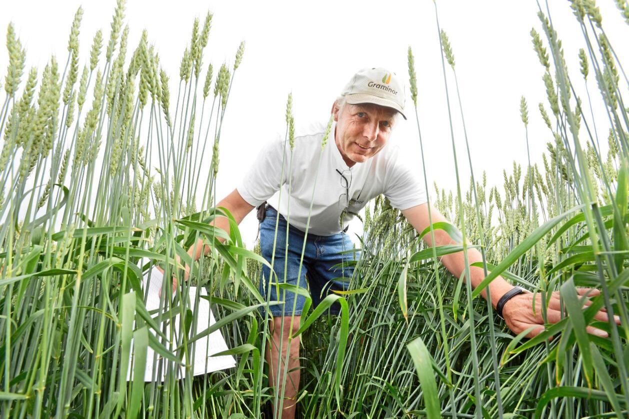 Vårhvete: På vandring gjennom en skikkelig mirakelåker for å sjekke forholda. Jon Arne Dieseth er landets eneste heltids hveteforedler. Alle foto: Mariann Tvete