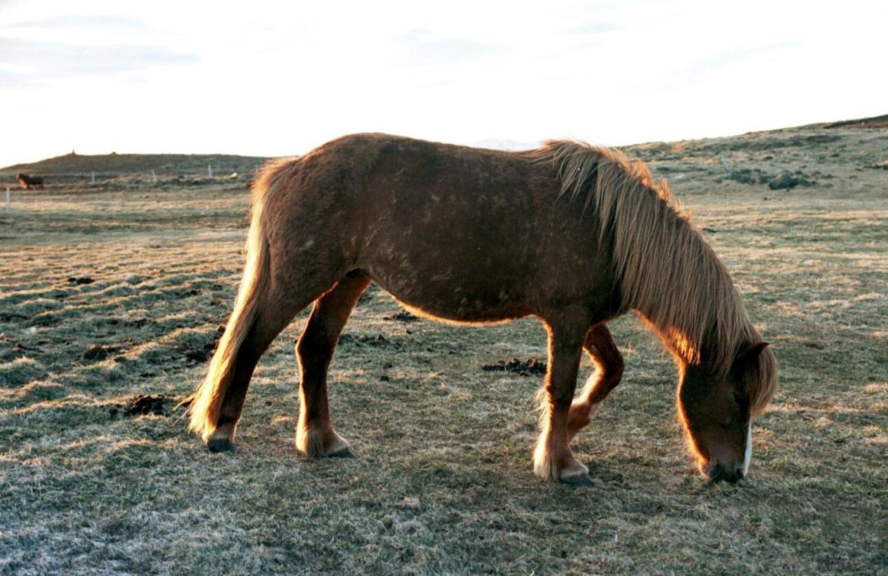Bildet er et illustrasjonsfoto, og denne spesifikke hesten har ingenting med den døde hesten å gjøre. Foto: Mariann Tvete