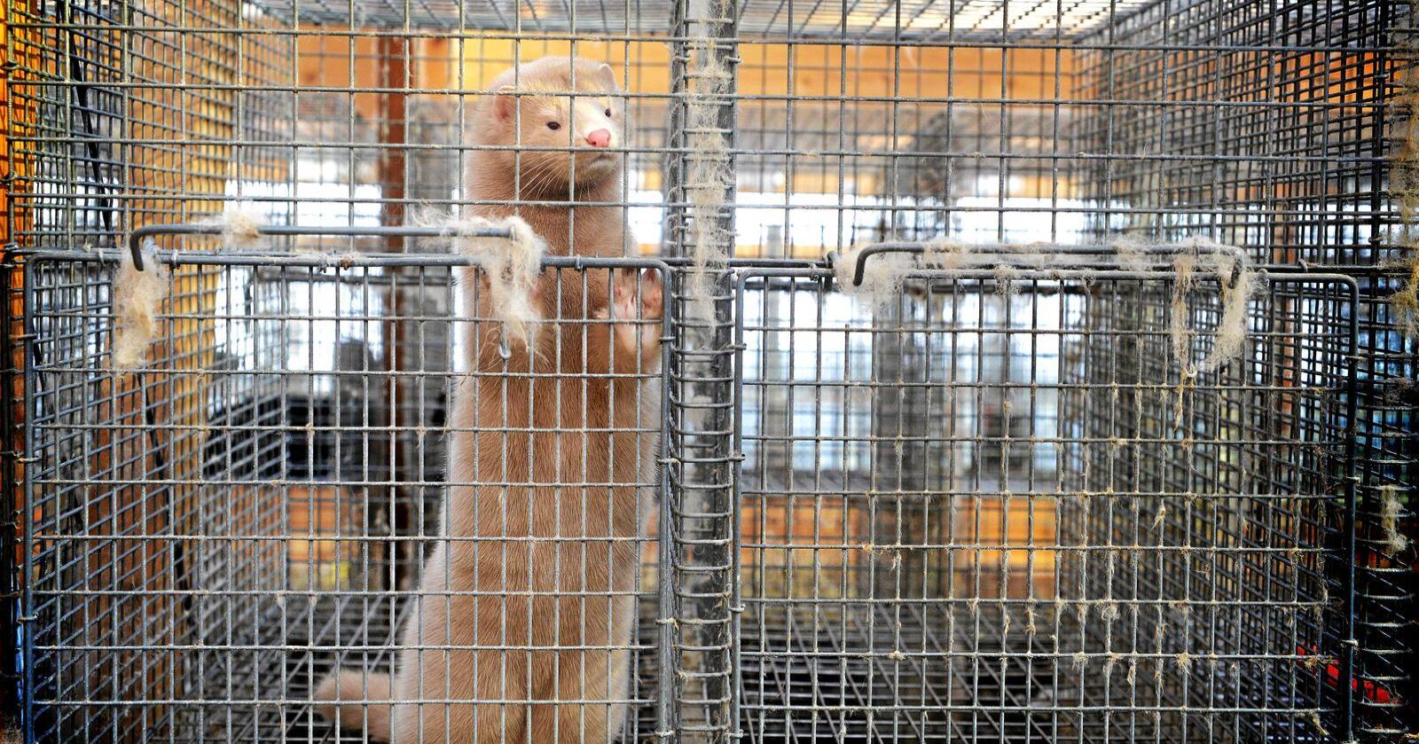 Den første utbetalingen av kompensasjon var til en pelsbonde. Illustrasjonsfoto: Siri Juell Rasmussen