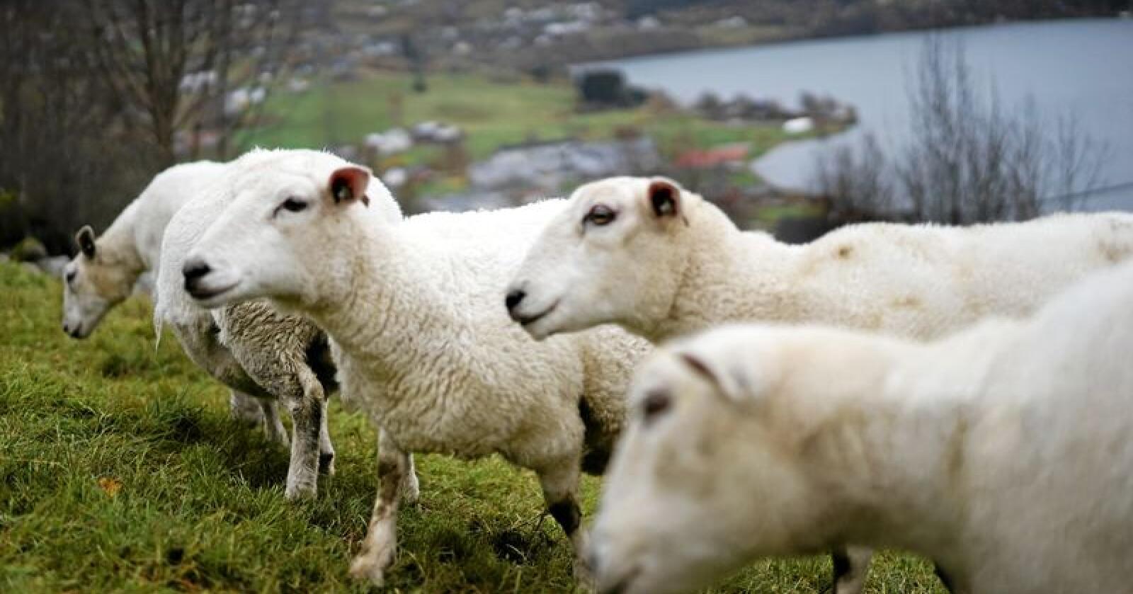 Mattilsynet mener at Stortingets rovviltforlik fra 2011 ikke blir oppfylt. Her sauer på beite. Foto: Benjamin Hernes Vogl