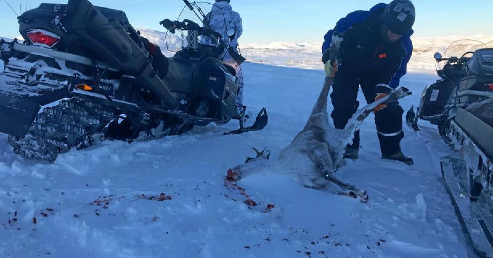 Bakgrunnen for den storstilte jakten i Nordfjella var utbruddet av skrantesyke (CWD). Ved å ta ut hele stammen håpet man å fjerne den dødelige dyresykdommen fra norsk jord. Foto: Sondre Dalaker / NRK / NTB scanpix