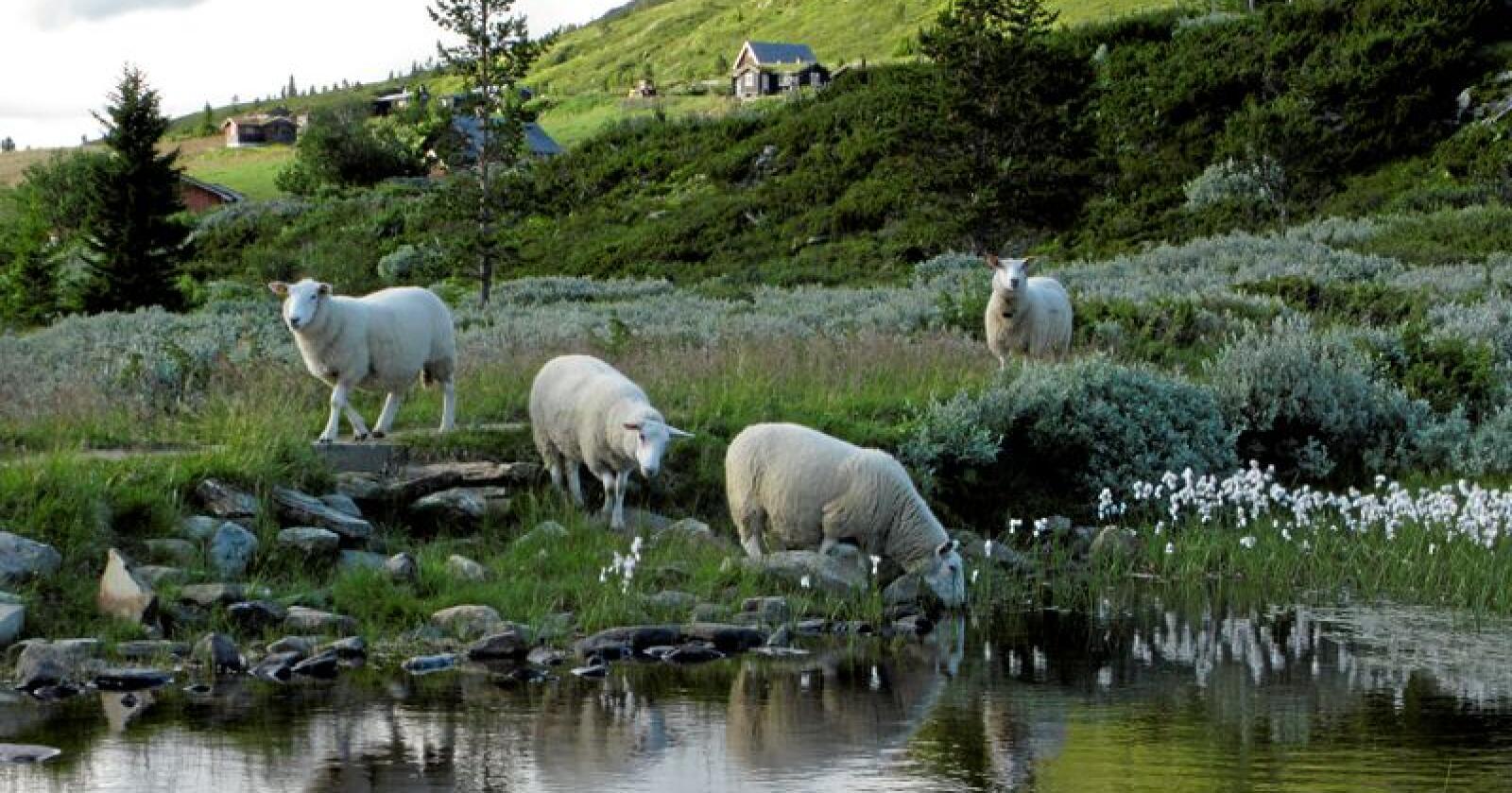 Utmarksbeite: Sau på fjellbeite i Gravdalen øst for Kvam i Gudbrandsdalen. Foto: Paul Kleiven / SCANPIX