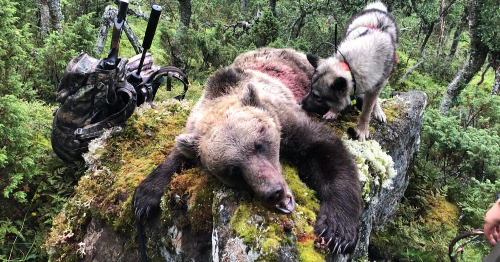 Bjørnen som ble felt veide 105 kilo, og var en hann. Foto: Privat