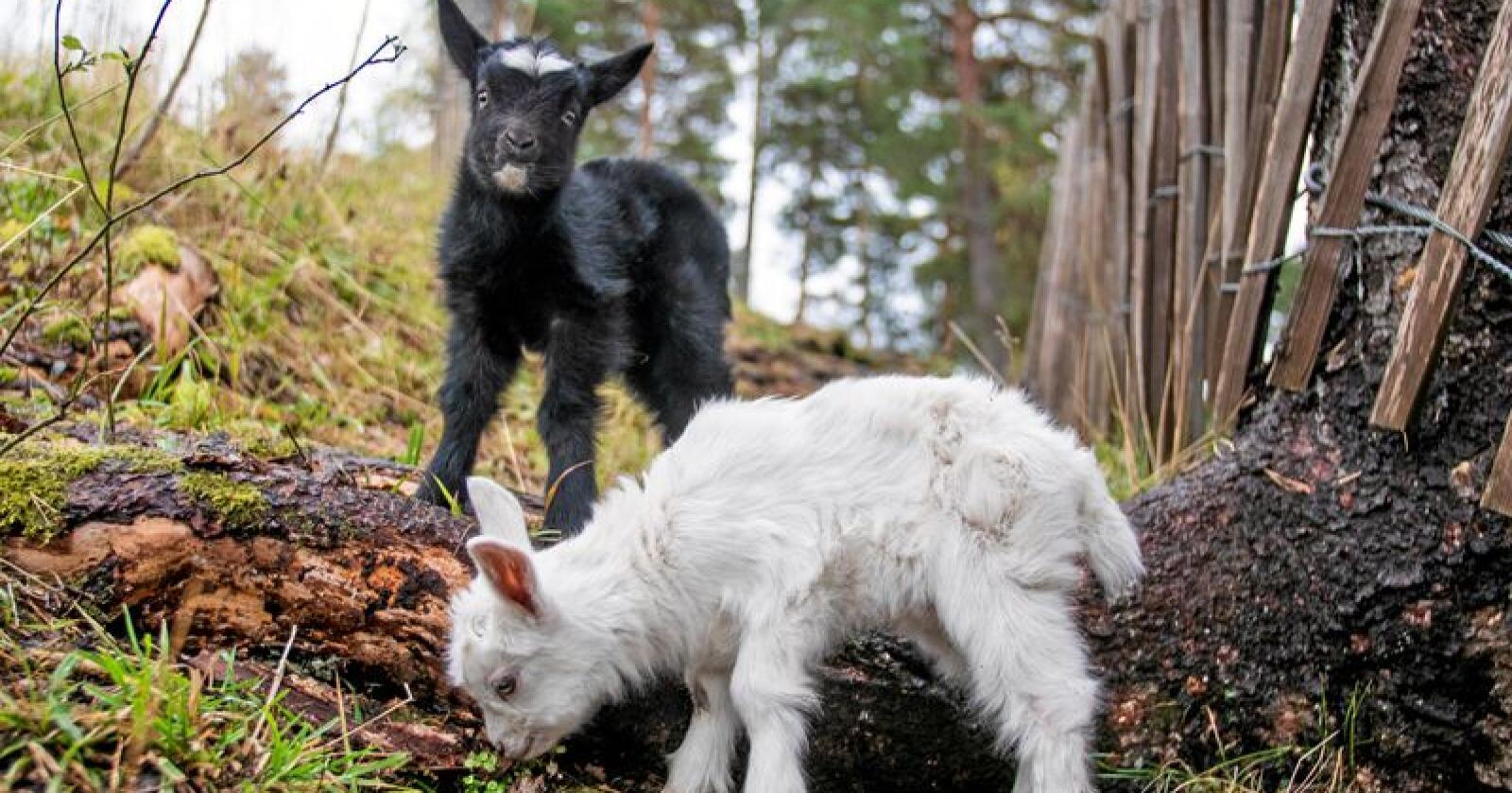 To geitekillinger ble nylig født på Utøya. På facebooksidene til Utøya har de nå en navnekonkuranse og foreløpig favoritt er at de to skal hete Salt og Pepper. Foto: Paul Patrick Børhaug/Utøya