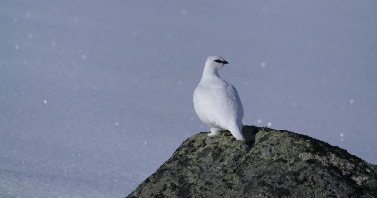 I disse dager går titusenvis av jegere ut på jakt etter skogsfugl og rype (bildet). Foto: Trond Baadstø