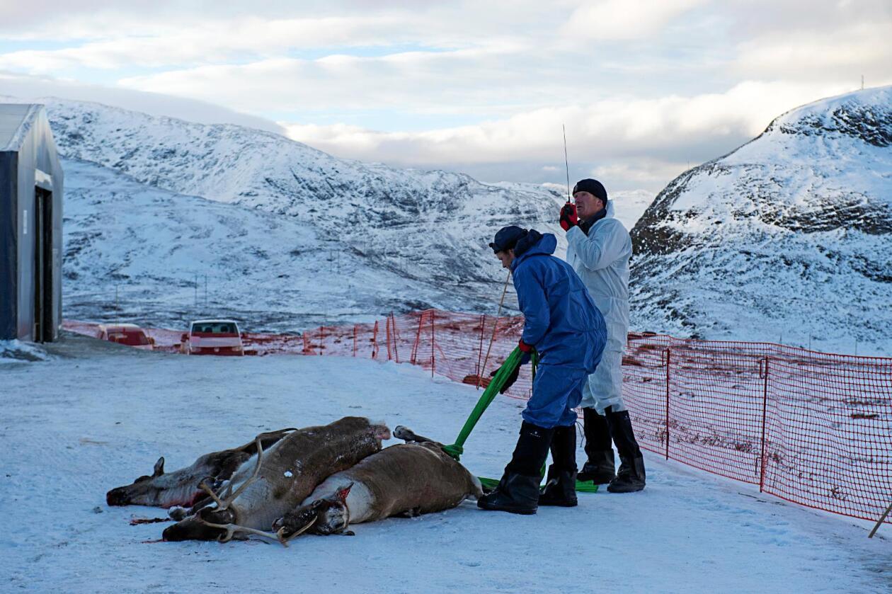 Ett av de første fire reinsdyra som ble skutt under saneringen blir fraktet inn til basestasjon for prøvetaking. Foto: Marit Hommedal / NTB scanpix