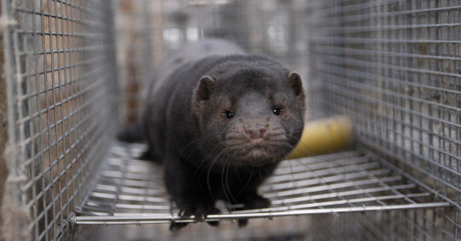 Ikke hjemmel: Politiet fikk vite 5. november at det ikke fantes hjemmel til å avlive alle mink i Danmark. (Illustrasjonsfoto: Øystein Heggdal)