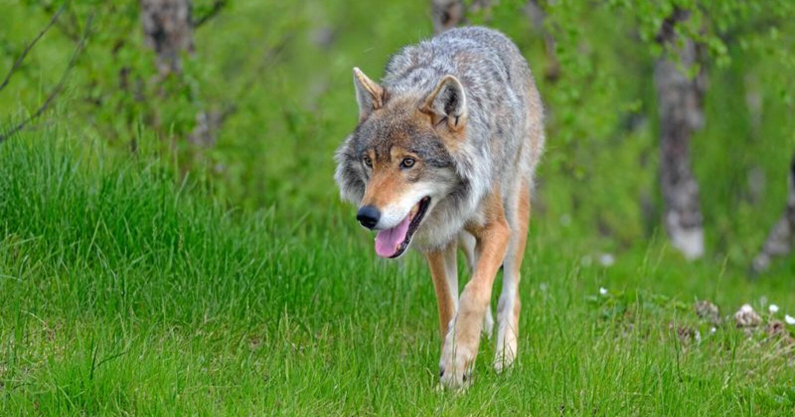 Det er gitt fellingstilatelse på en ulv i Hedmark. Illustrasjonsfoto: Colourbox