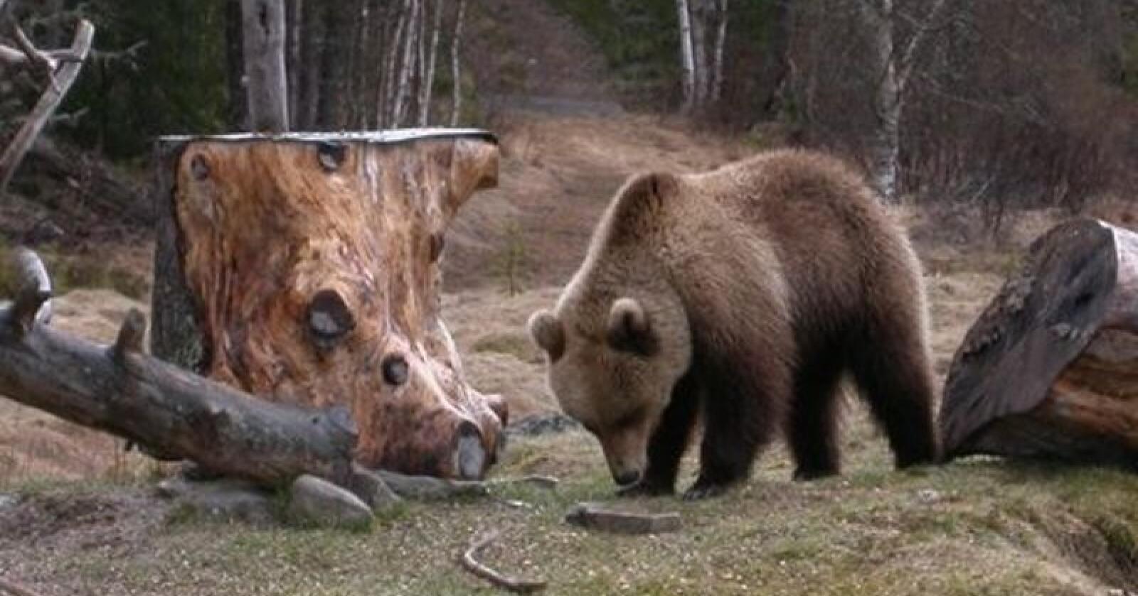 Bjørnen har herjet i Bardu-traktene i sommer. Bildet viser en nærgående, men vill bjørn som ble skremt bort av SNO for flere år siden. Foto: Stein Arne Brendryen, Statens Naturoppsyn / Bondebladet arkiv