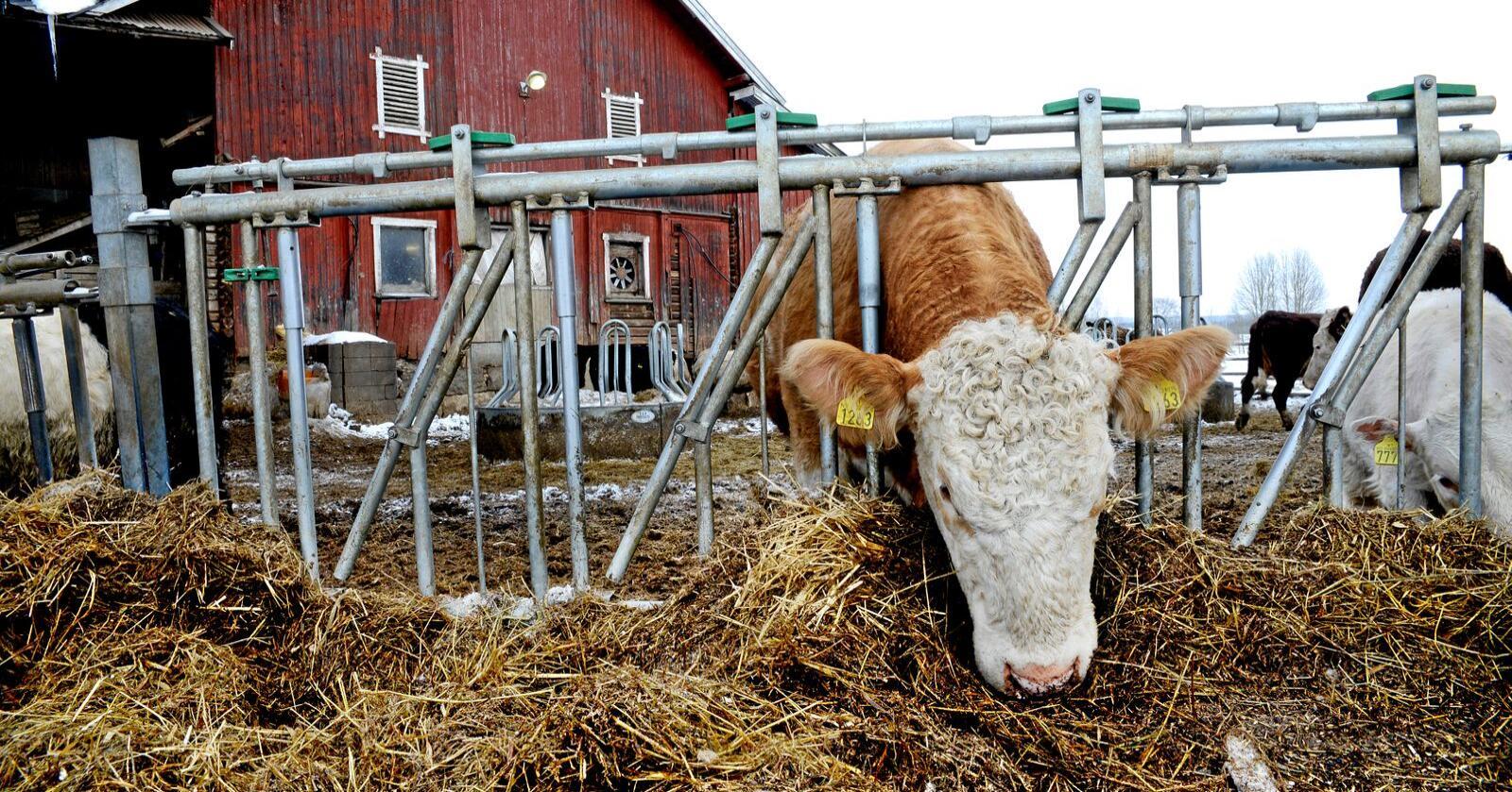 Husdyra er vår klart viktigste «matkapital» fra jordbruket, skriver innsenderne. Foto: Mariann Tvete