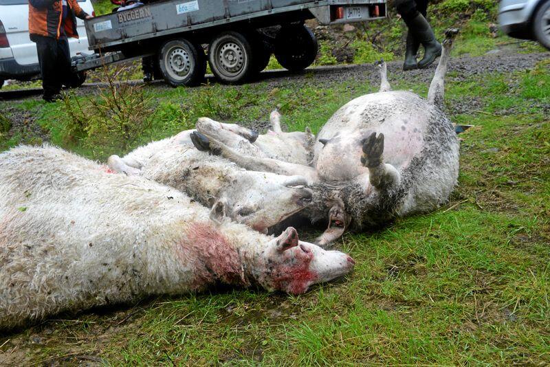 Sjelden: De færreste nordmenn opplever rovdyr på kroppen. Foto: Mariann Tvete