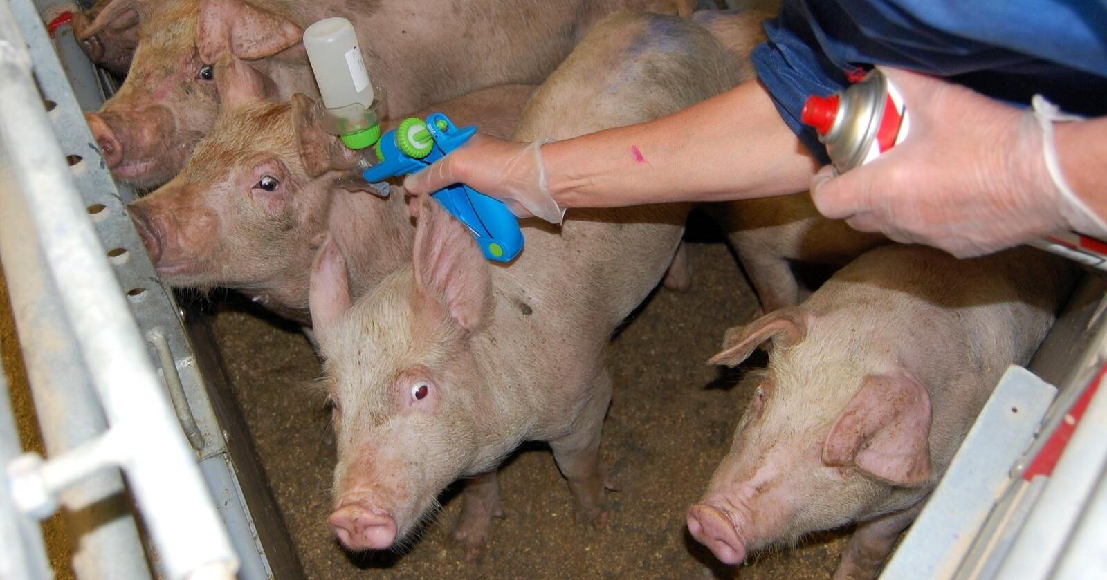 Afrikansk svinepest har rammet Asia knallhardt. En ny prototyp-vaksine gir nå flere håp for den globale svineproduksjonen. (Illustrasjonsfoto: Animalia)