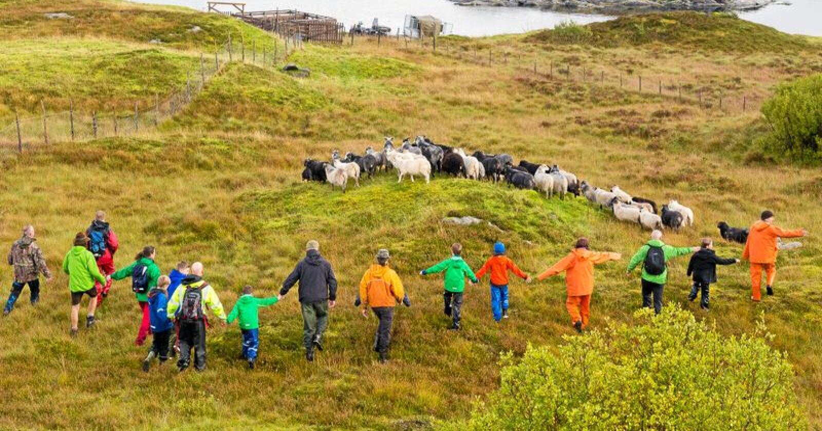 Gammelnorsk sau, er svært viktig for skjøtsel av den trua naturtypen kystlynghei. Foto: Leif-Arne Furevik